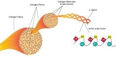 struttura-collagene